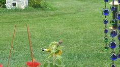 Female and male finches enjoying an afternoon snack on a sunflower.