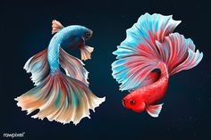 Betta fishes on a midnight blue background desig resource  | premium image by rawpixel.com / Te Aquarium Backgrounds, Blue Backgrounds, Wallpaper Backgrounds, Free Illustrations, Illustration Art, Aggressive Animals, Fish Wallpaper, Beta Fish, Beautiful Fish