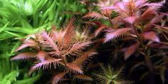 Proserpinaca palustris 'Cuba' - Tropica Aquarium Plants