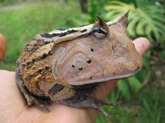 This is the toad-horn, or Amazonian horned frog (Ceratophrys cornuta). It's found in the rainforests of South America. Males are very territorial and can be violent.