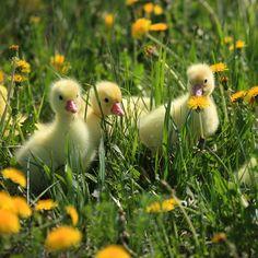 Dandelions and Ducks
