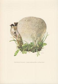 1962 Mushrooms Print Fungi Illustration Calvatia by Craftissimo