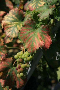 autumn in the vineyard, Saillon, Canton of Valais, Switzerland
