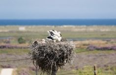 Birdwatching: Two young Storks plus a parent at their nest in Casa Flor de Sal, Moncarapacho, East Algarve, Portugal