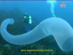 Giant Pyrosome, up to 6' wide and 60' long, is a thimble shaped colony of hundreds and sometimes thousands of filter feeding zooids, each of which is capable of copying itself and adding to the colony. They are connected with a gelatinous tunic and move in unison. Moreover, they are bioluminescent and emit light in unison! via theatlantic #Pyrosome