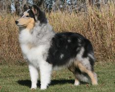 Our Girls - Tallywood Collies