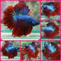 Finding the best betta fish food for your betta fish - Betta Fish Care Colorful Fish, Tropical Fish, Animals Beautiful, Cute Animals, Betta Fish Care, Live Aquarium Fish, Beta Fish, Siamese Fighting Fish, Exotic Fish