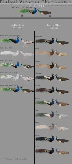 Indian Peafowl Varieties Chart
