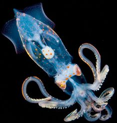 Bioluminescent squid.