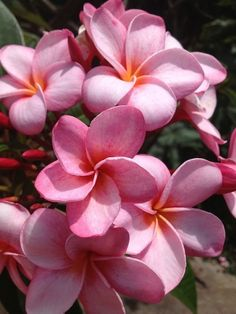Pink Martini Plumeria-reminds me of Hawaii.  I can almost smell it now.