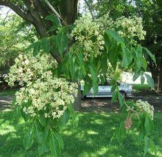 Tetradium-Daniellii.jpg  bijenboom