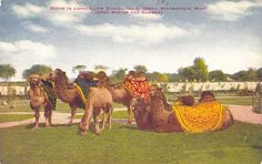 POSTCARDY: the postcard explorer: Camels at Longfellow Zoological Gardens - Minneapolis, Minnesota