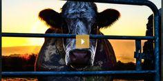 """""""Cowspiracy: il segreto della sostenibilità"""". Arriva in Italia il film-documentario sugli allevamenti intensivi"""
