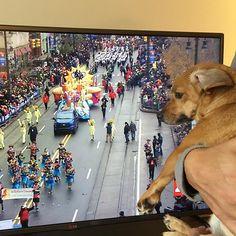Thanksgiving parade in Detroit🦃💂🏻I wanted to be there... TVで感謝祭のパレード見てます。行きたかったね〜。モカは興味あるかないか微妙な表情😹 #thanksgivingparade #dog #doggie #lifewithdog #dogathome #mocha #michigan #detroit #chiweenie #愛犬 #わんこ #犬バカ部 #横顔わんこ部 #モカ #アメリカ生活 #ミシガン #感謝祭パレード #テレビで見てます #微妙な表情