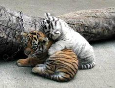 Baby tigers playful with other Baby tiger, There is Cute Baby White Tiger in Vegas. Description from wn.com. I searched for this on bing.com/images