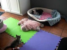 Gigi and TImmy, a kitten and pig playing :)