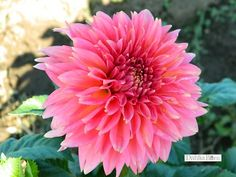New for 'Kenora Lisa' Gorgeous pinky with a little coral. Larger flower and a good bloomer.