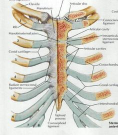 illustration of rib cage and breastbone ---costochondritis, Skeleton