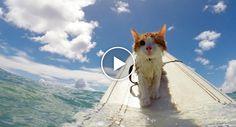 Destemido Gatinho Com Apenas Um Olho Adora Fazer Surf Com Os Seus Donos