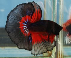betta colors | COLOR: RED AND BLACK