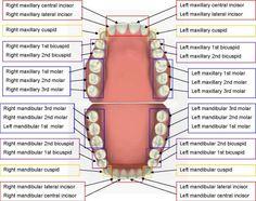 teeth diagram diagram site - 28 images - human teeth diagrams to print diagram site, diagrams of teeth printable diagram site, dental diagrams diagram site, teeth diagram diagram site, printable diagrams of teeth diagram site Dental Assistant Study, Dental Hygiene Student, Dental Humor, Dental Hygienist, Dental Care, Dental Facts, Dental Procedures, Dental Charting, Dental Terminology