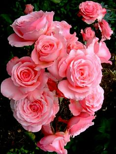 Nothing found for Create Your Rose Garden Good Morning Beautiful Flowers, Beautiful Rose Flowers, Flowers Nature, Pretty Flowers, Pink Roses, Pink Flowers, Roses Only, Rosa Rose, Growing Roses