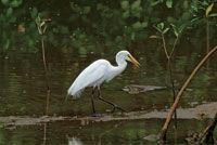 La abundancia de peces juveniles en el estuario, es fuente de alimento para muchas aves como la garza blanca.