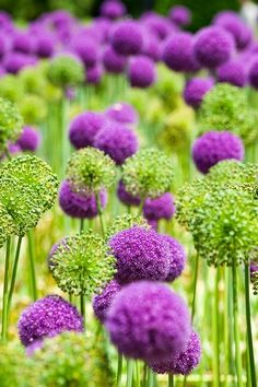 Purple Allium Gorgeous