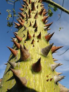Ceiba speciosa, silk floss tree. The trunks of young trees are covered with large, intimidating spines. Grows in zones 9 to 11.