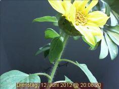 In der Blüte ihres Lebens: die einzigartige Webcam-Sonnenblume.
