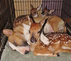 Sweet Bull Terrier and 3 fawns resting together. They're in an open crate so it's totally by choice that they're all together like this. From Rocky Ridge Refuge ♥