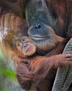 https://flic.kr/p/prySjq | Squeeze play | Aisha, a baby orangutan, snuggles with her mother after swinging on the ropes at the San Diego Zoo.