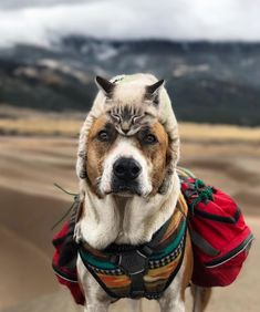 Rescue Kitten And Rescue Dog Are A Hiking Match Made in Heaven