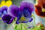 Randy Roberts Art - Purple Pansy by Penny Roberts
