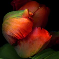 ENRAPTURED... a detail of a gorgeous parrot-tulip by Magda indigo, via 500px