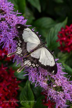 ~~Mocker Swallowtail Butterfly - Male by Anne Belmont Photography~~