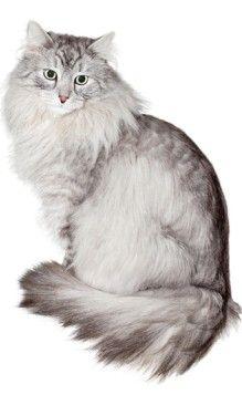 sibby Siberian Cat, Cats, Animals, Google Search, Gatos, Animais, Animales, Animaux, Animal