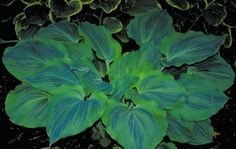 Large Hosta Cultivar  Thick heart-shaped leaves with a gently ruffled edge. Blue-green leaves have an irregular chartreuse margin.   Great contrast betwee