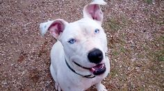 pitbull dogs white with blue eyes breed