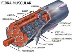 musculo estructura - Buscar con Google