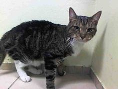 TO BE DESTROYED 8/2/14 ** Dyno will move away from the extended hand that tries to pet him and does become tense but no attempt to bite or scratch was made. Due to the behavior seen within the care center, Dyno would fair best in a calm and quiet home ** Brooklyn Center  My name is DYNO. My Animal ID # is A1005031. I am a neutered male brn tabby and white domestic sh mix. The shelter thinks I am about 3 YEARS old.  I came in the shelter as a STRAY on 06/29/2014 from NY 11226
