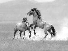 Wild horse photography – Onaqui herd black and white and toned photographs. This is my gallery of toned images of the wild horses in Utah's West Desert. These horses are from the Onaq… Wild Mustangs, Horse Photography, Wild Horses, Utah, Canvas Prints, Black And White, Gallery, Animals, Animales