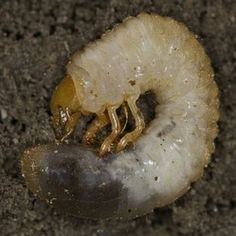 how to get rid of white grubs in garden