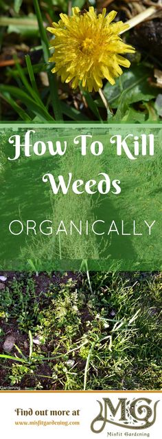 Click to find out my best frugal method to kill weeds organically or pin it for later
