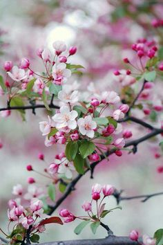 Crab apple blossoms...prettiest pink in the world.........