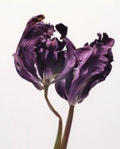 bloom-magazine.eu ✤ photographie couleur de fleur botanique, tulipe violette (flower botanic)