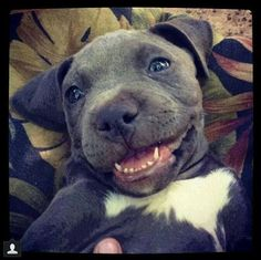 Pit Bull Puppies Really happy blue-nose blue pitbull puppy smiling - Animals And Pets, Baby Animals, Funny Animals, Cute Animals, Cute Puppies, Cute Dogs, Dogs And Puppies, Doggies, Blueline Pitbull
