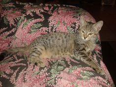 Kyra, arrivata da piccolissima da noi, è stata subito amata e coccolata. Ora ha 4 mesi, e di coccole e bacini non ha mai abbastanza. Per fortuna dicono che i gatti sono solitari, per fortuna lei non lo è! Ci piace moltissimo coccolarla!! L'abbiamo adottata che aveva circa un mese, senza mamma, è cresciuta con noi..... Ed ecco come è cresciuta!!Grazie a tutte le volontarie che salvano questi cuccioli!!