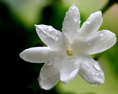 """Exotic and sweet, jasmine is a highly sought after oil. Exorbitantly expensive in its pure form, it's not uncommon to find """"cut"""" or synthetic versions on the market.  Jasmine's historic use goes back centuries. In ancient India, jasmine was (and still is) used for for ceremonial purposes."""