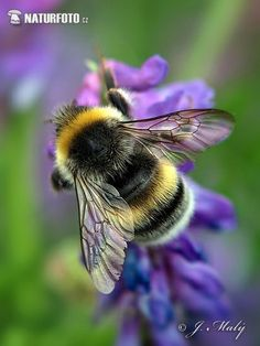 Beautiful Creatures, Animals Beautiful, Animals And Pets, Cute Animals, Foto Macro, Bee Pictures, Bee Photo, I Love Bees, Bee Friendly
